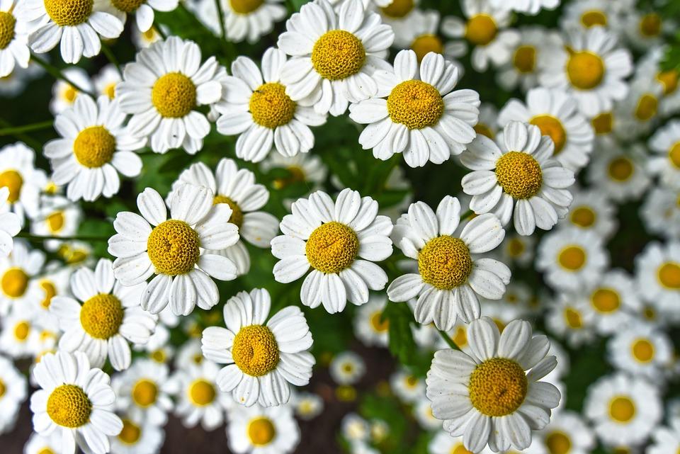 Chamomile, Flower, Plant, Bloom, Herbal, Naturopathy
