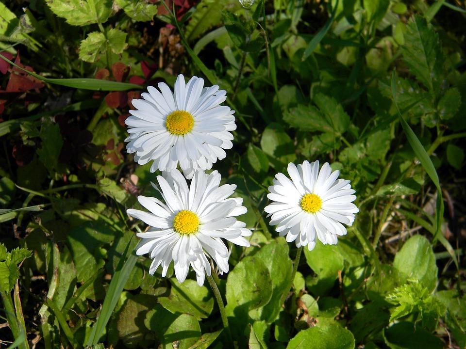 Free photo chamomile daisy field white flowers white flower max pixel daisy flower white flowers field chamomile white mightylinksfo