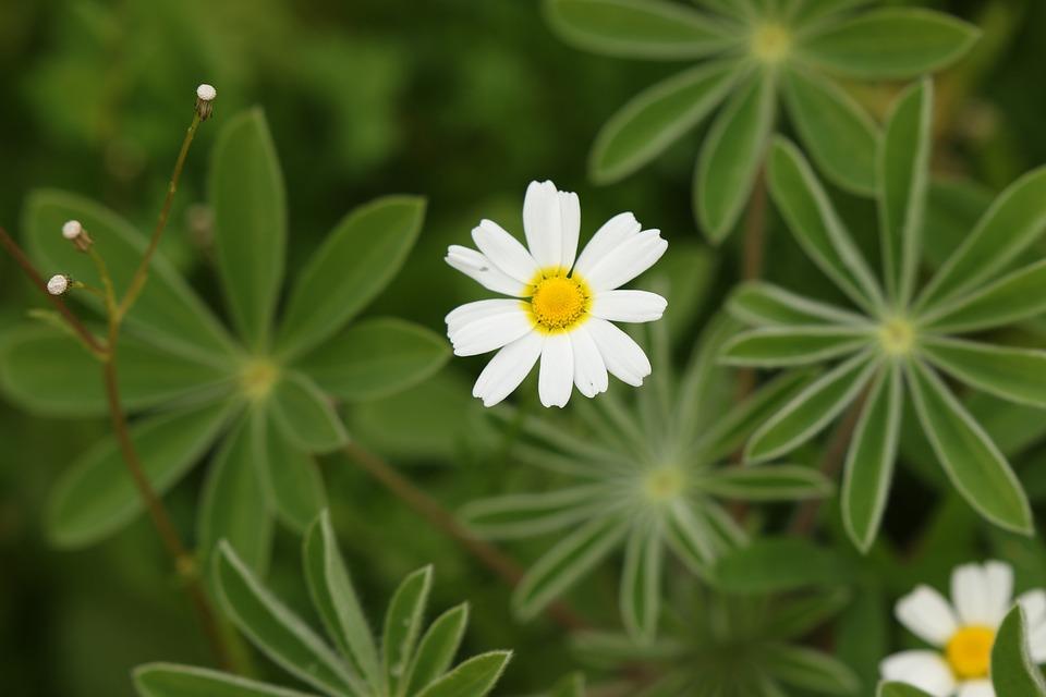 Flowers, Wild Flowers, Chamomile, Meadow, Bloom, Field