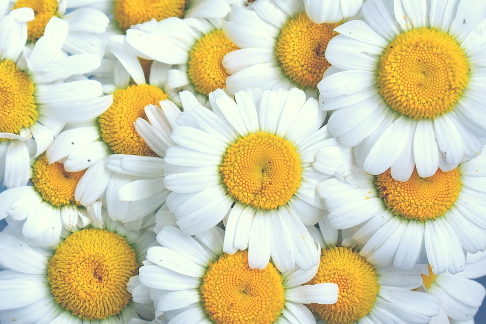 Free photo chamomile flowers white flowers yellow center daisy max daisy chamomile flowers white flowers yellow center mightylinksfo