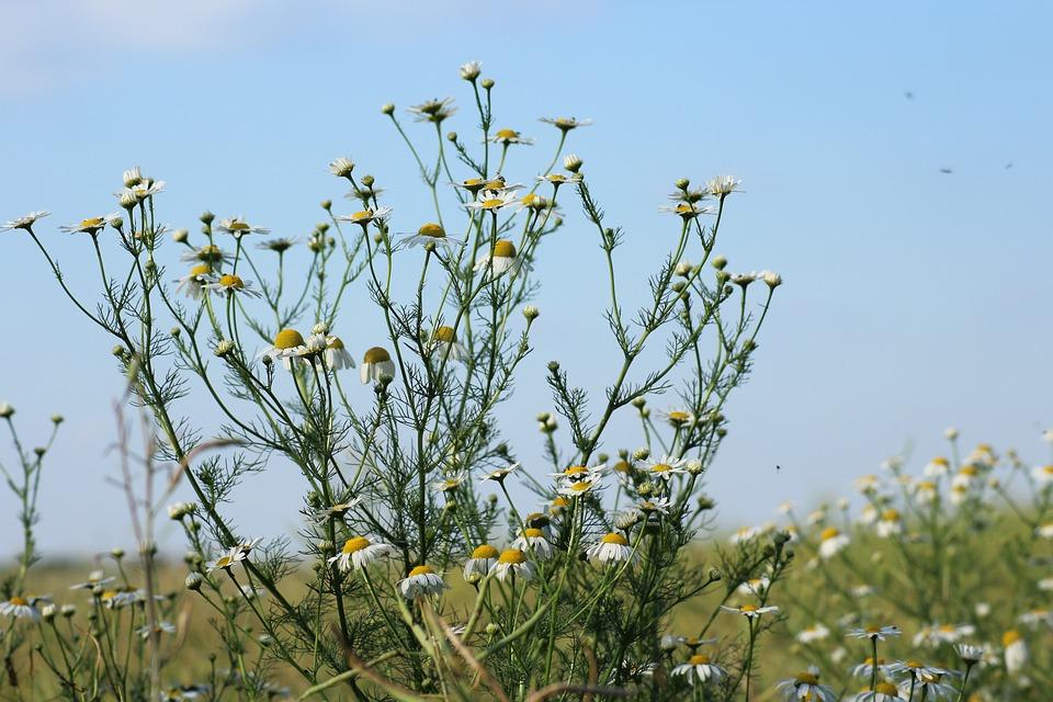 Chamomile, Herb, Field Plant, Flowers Wildflowers