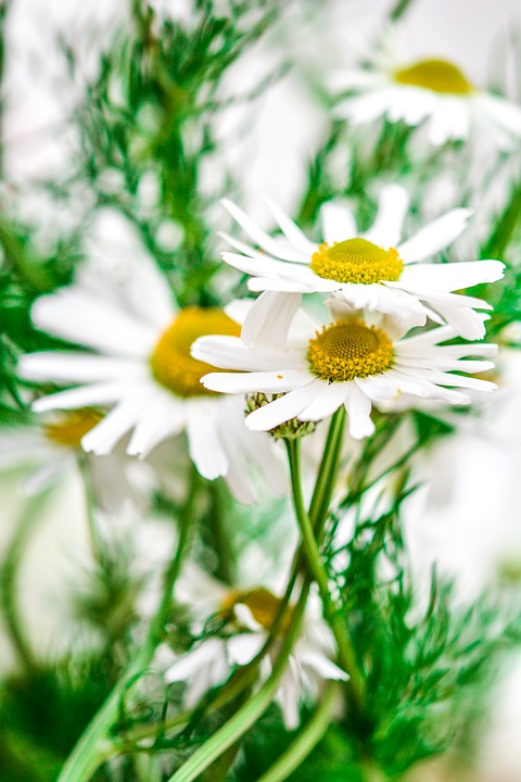 Chamomile, Flowers, Nature, Plant, Natural, Herb, Green