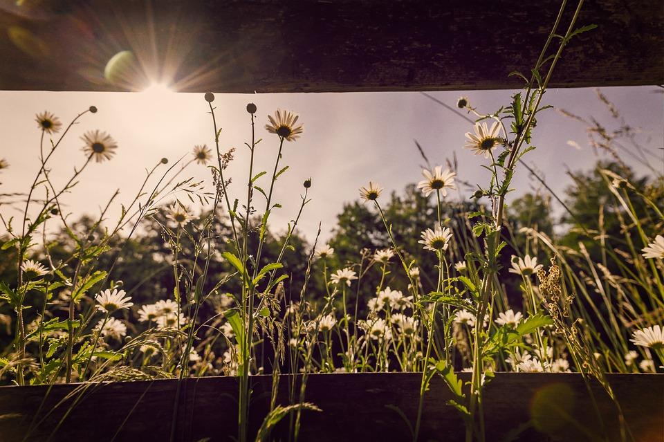 Flowers, Meadow, Chamomile, Summer, Sun, Backlighting