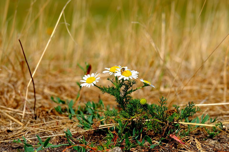 Chamomile, Summer, Blossom, Bloom, Nature, Naturopathy