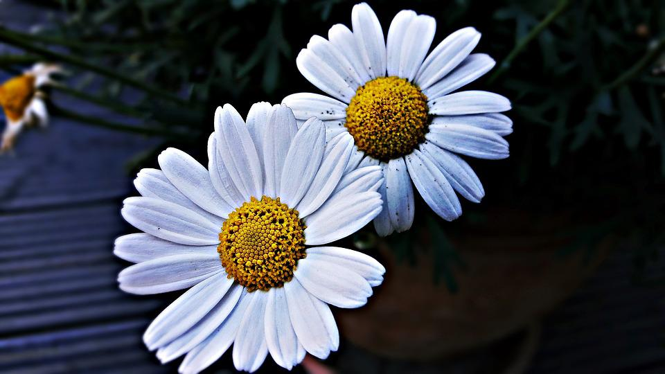 Chamomile, Flower, White, Meadow, Nature, Summer