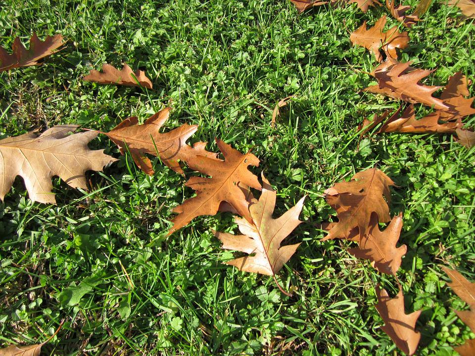 Quercus Rubra, Nothern Red Oak, Champion Oak, Leaves