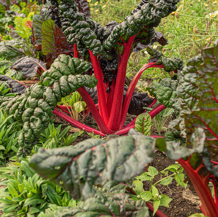 Chard, Plant, Stems, Shining, Leaves, Vegetables