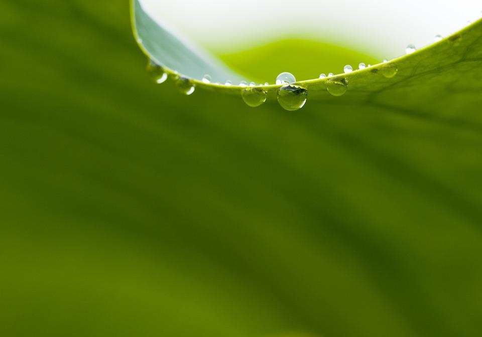 Nature, Lotus Leaf, Dewy, Chartreuse