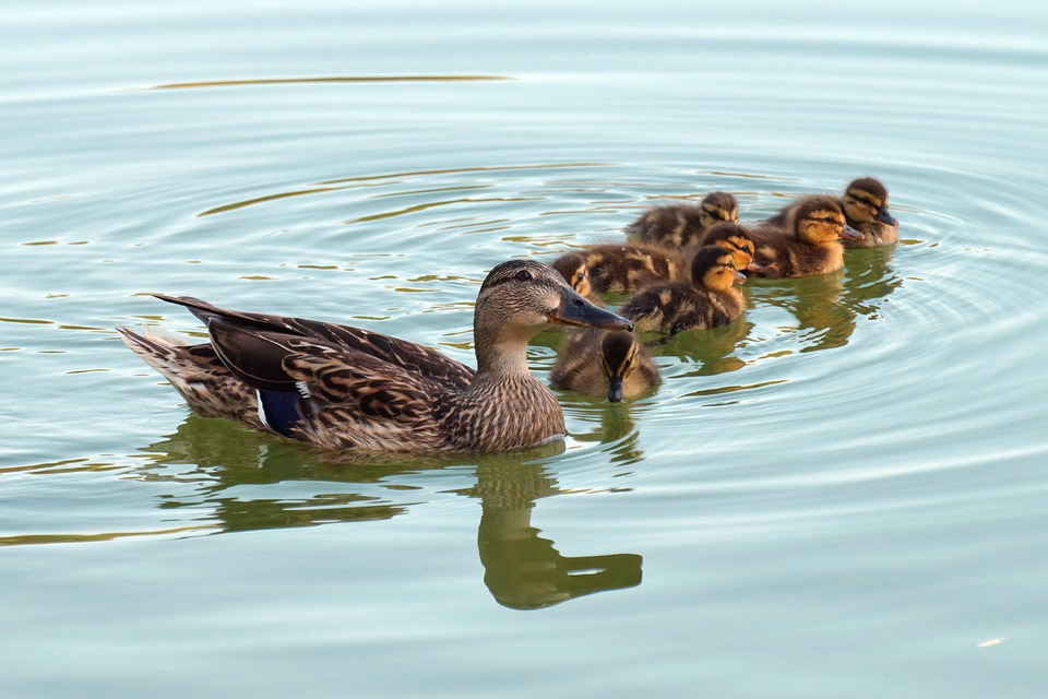 The Duck, Bird, Check Out The Chicks, Plumage, Feathers