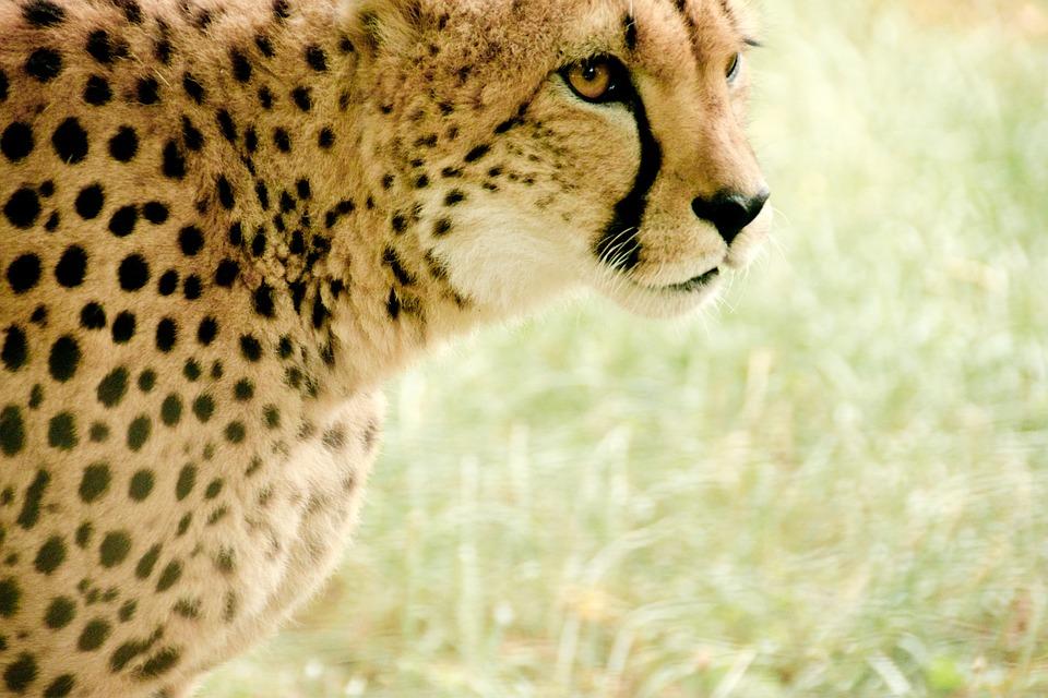 Cheetah, Africa, Kenya, Safari, Nature, Holiday