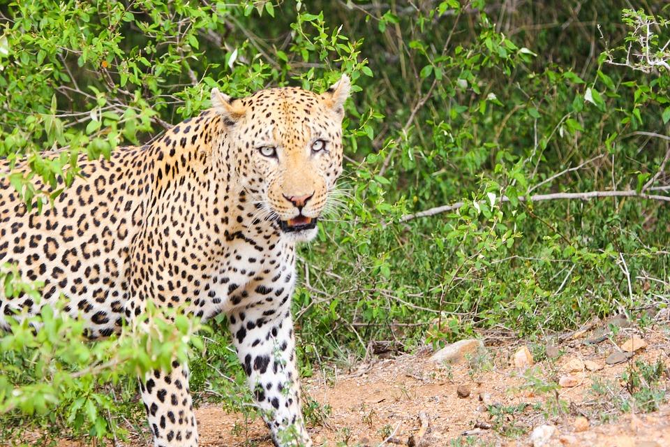Leopard, Animal, Cheetah, Animals, South Africa