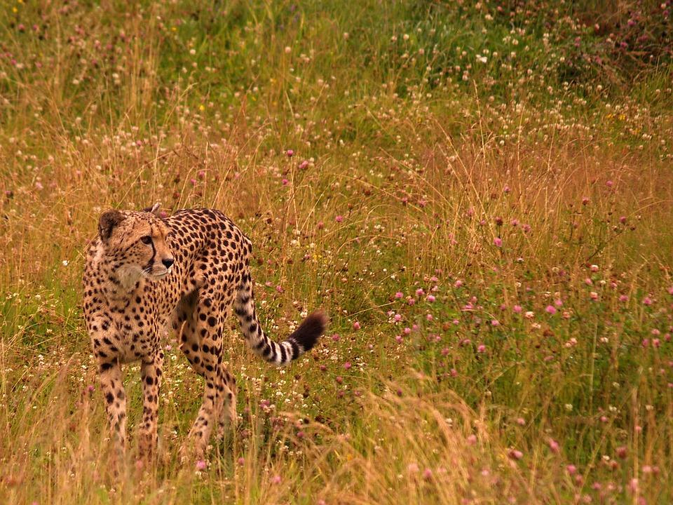 Cheetah, Savannah, Animals, Zoo, Feline, Hunting