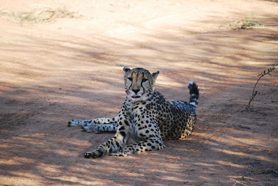 Cheetah, Namibia, Africa, Cat, Big Cat, Wildcat