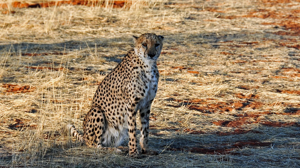 Cheetah, Africa, Namibia, Nature, Dry, National Park