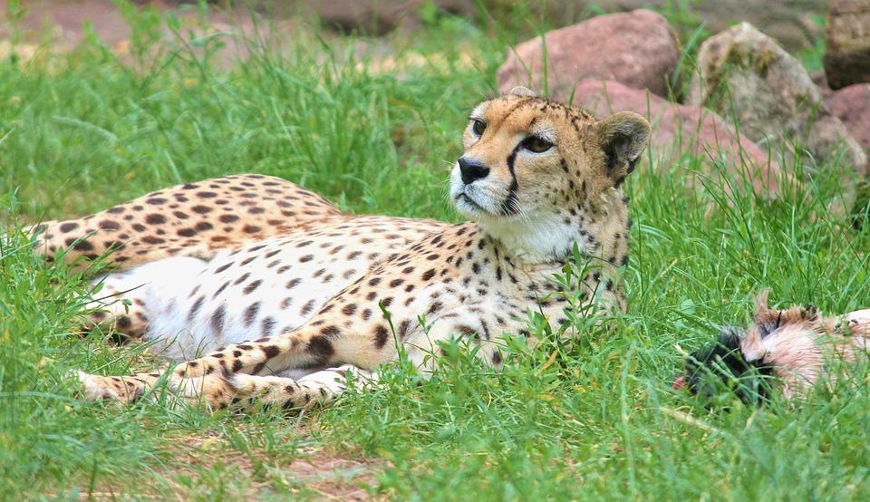 Cheetah, Cat, Predator, Big Cat, Nature, Animal