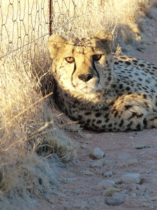 Cheetah, Tame, Nambia, Hammerstein Lodge