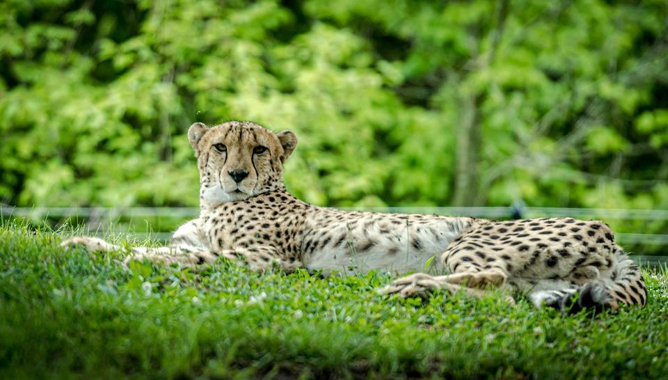 Zoo, Cat, Animal, Africa, Cheetah