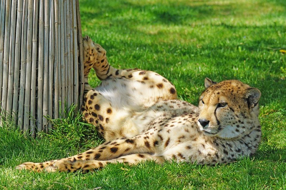 Cheetah, Zoo, Predator