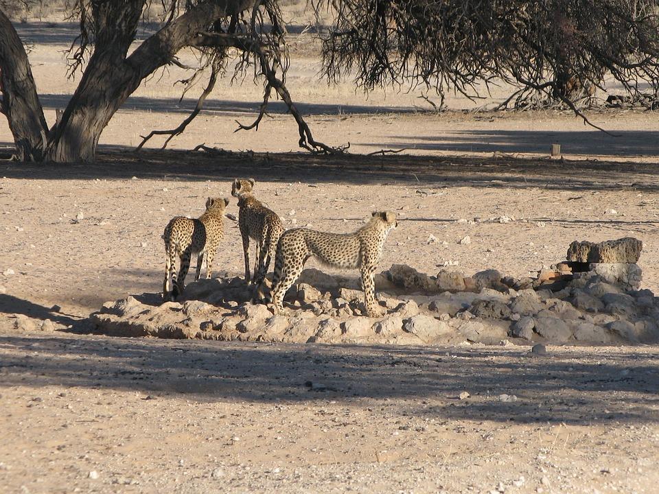 Cheetahs, Kalahari, Wildlife, Savannah, Wild Cats