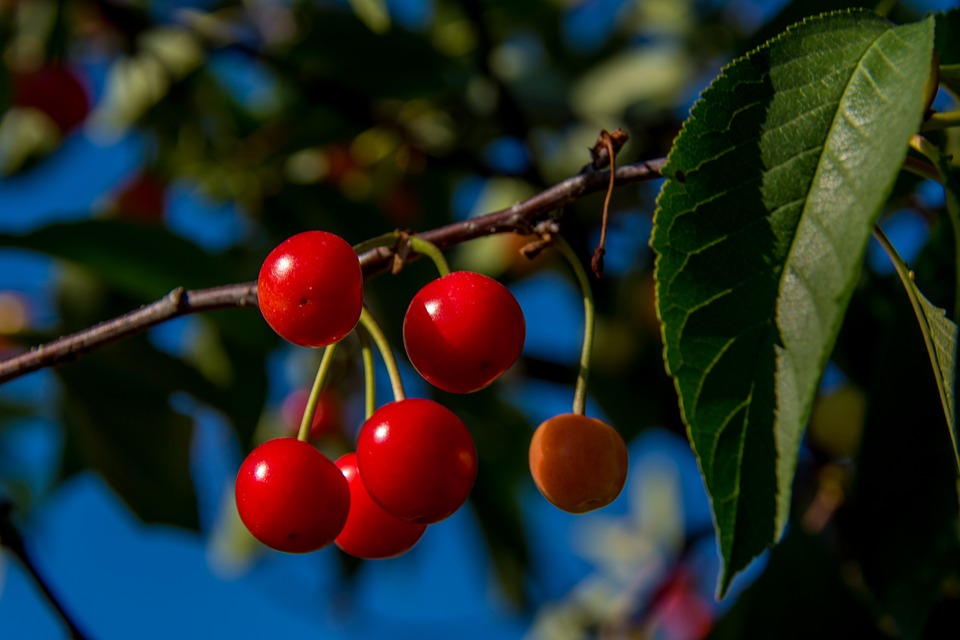 Cherries, Branch, Cherry, Red, Agriculture, Foliage