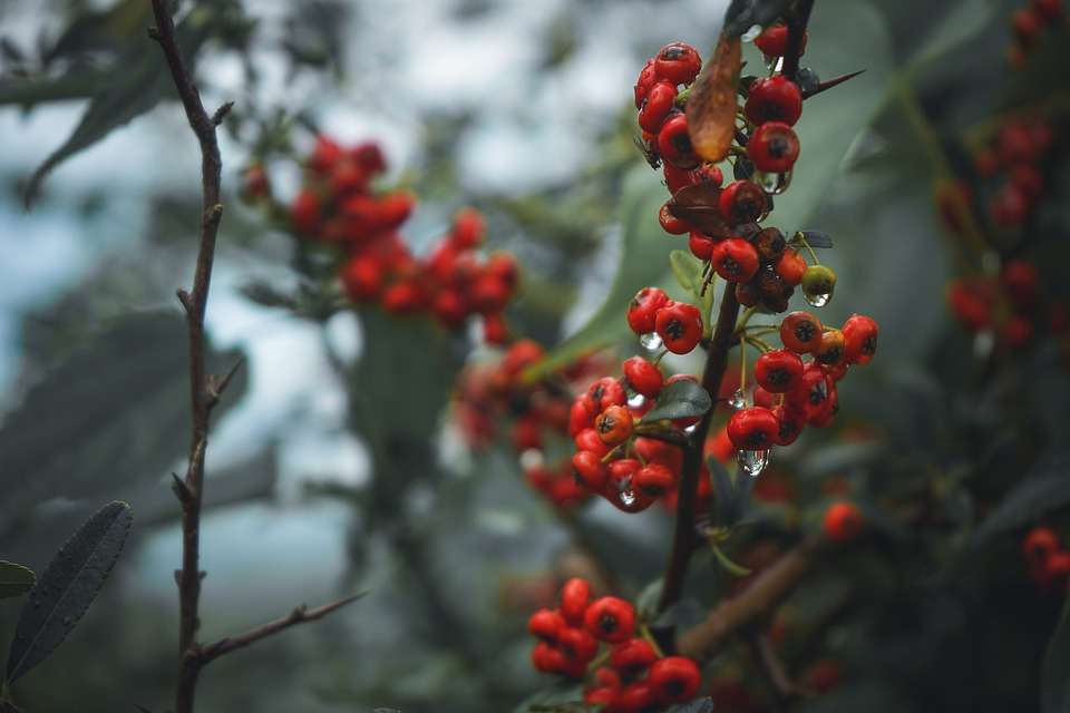 Berries, Fruit, Currants, Food, Ripe, Sweet, Cherries