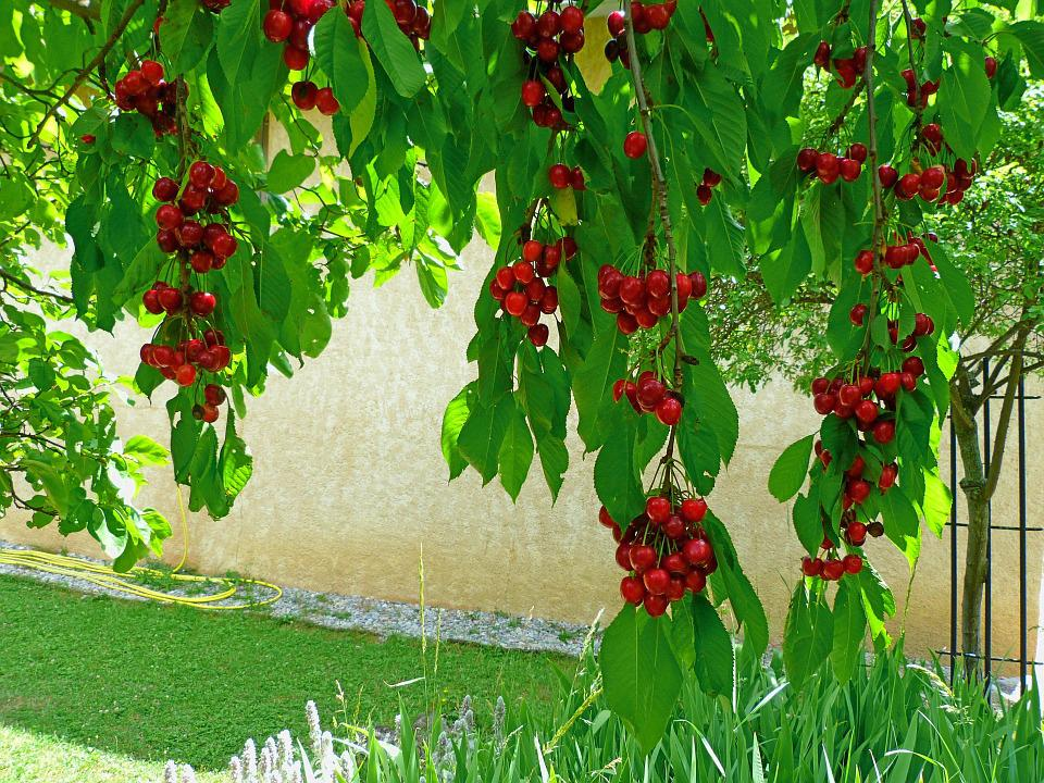 Fruit, Fruit Tree, Cherries, Branches, Leaves, Red