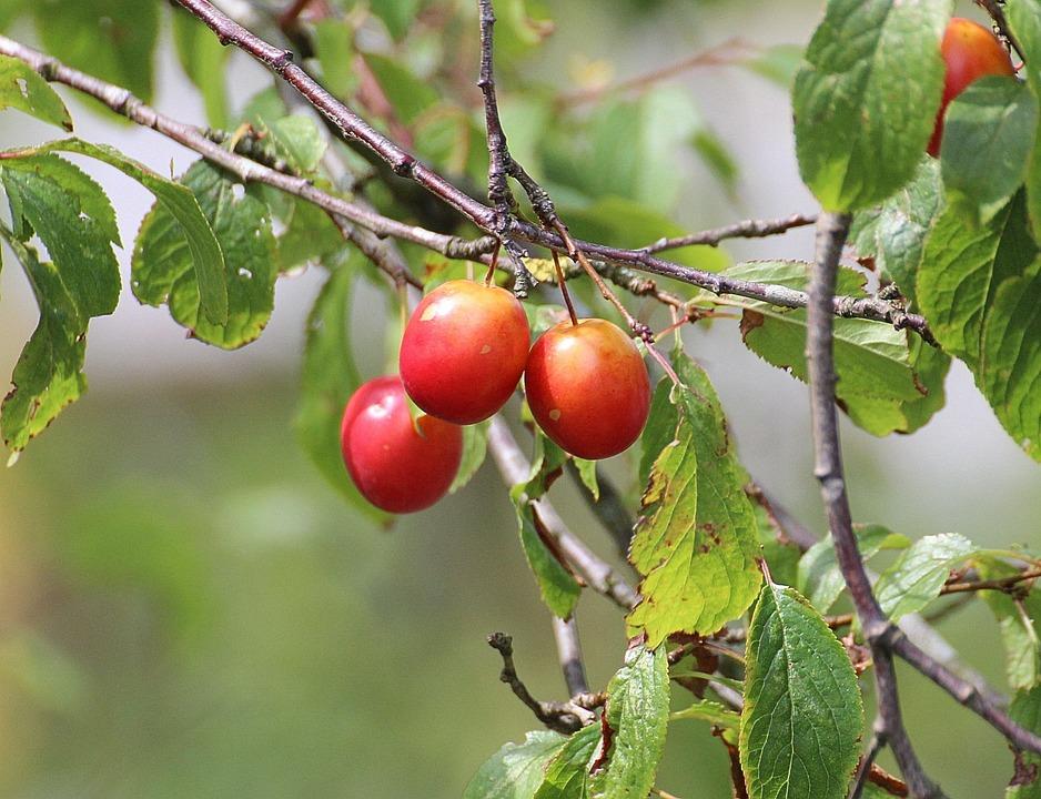 Cherries, Princess Cherry, Sweet Cherry, Red, Fruit