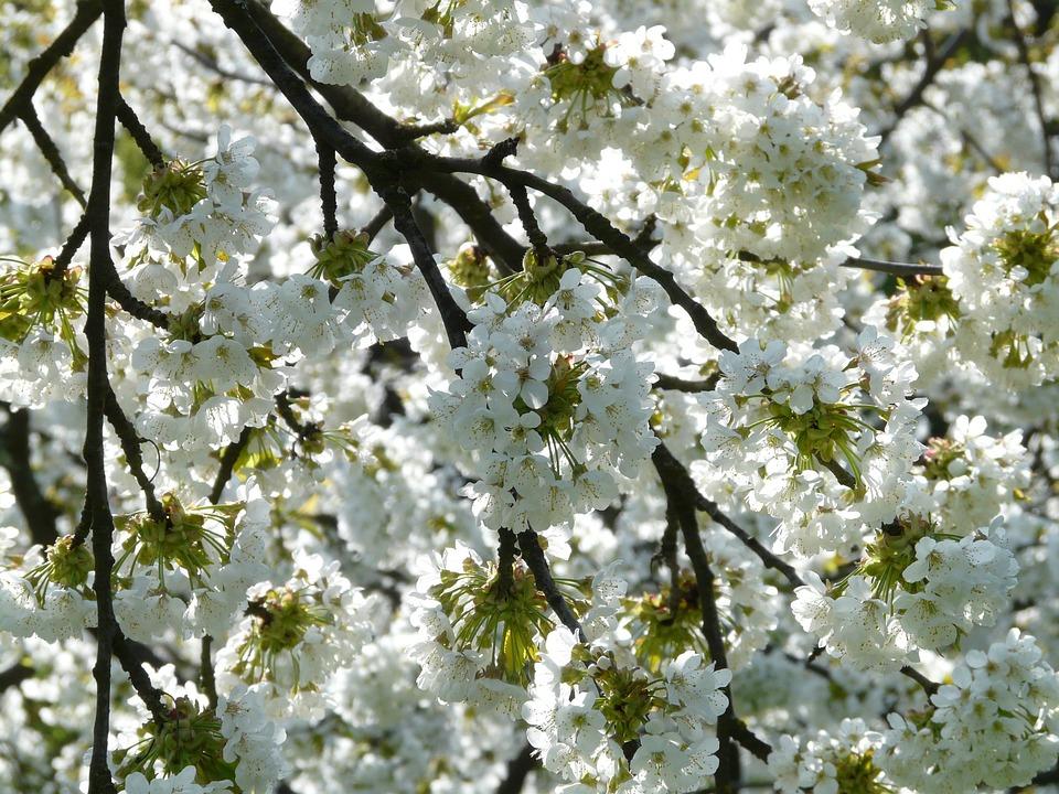 Cherry Blossom, Cherry, Blossom, Bloom, White, Spring
