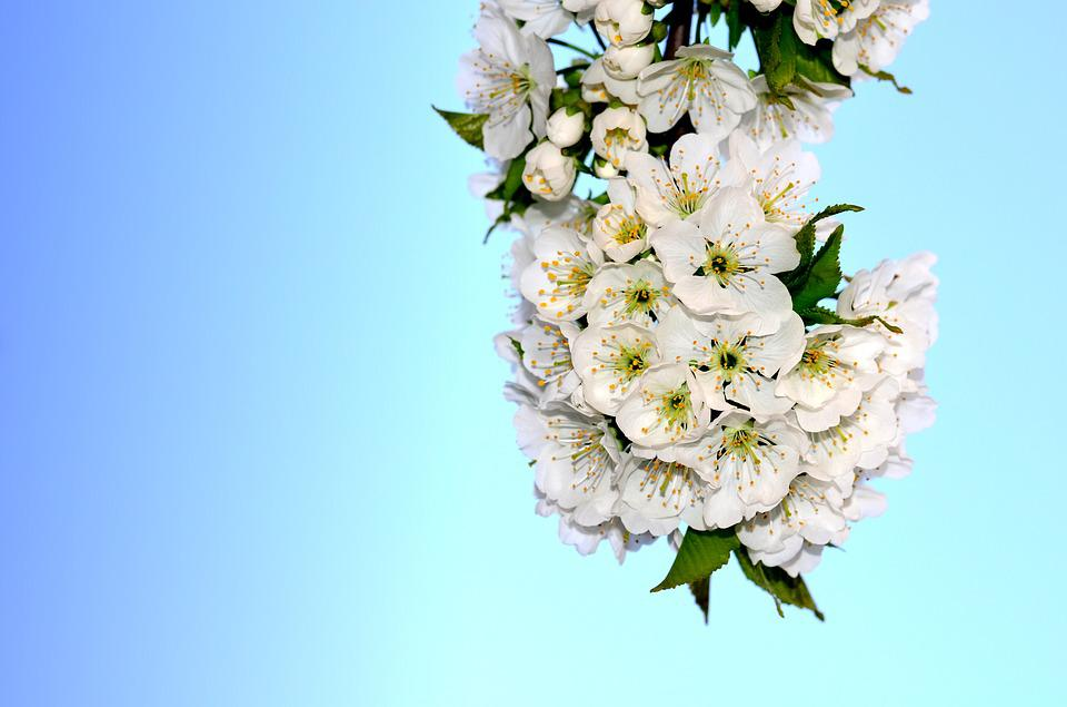 Flower, Cherry, Spring, Spring Flowers, Bloom