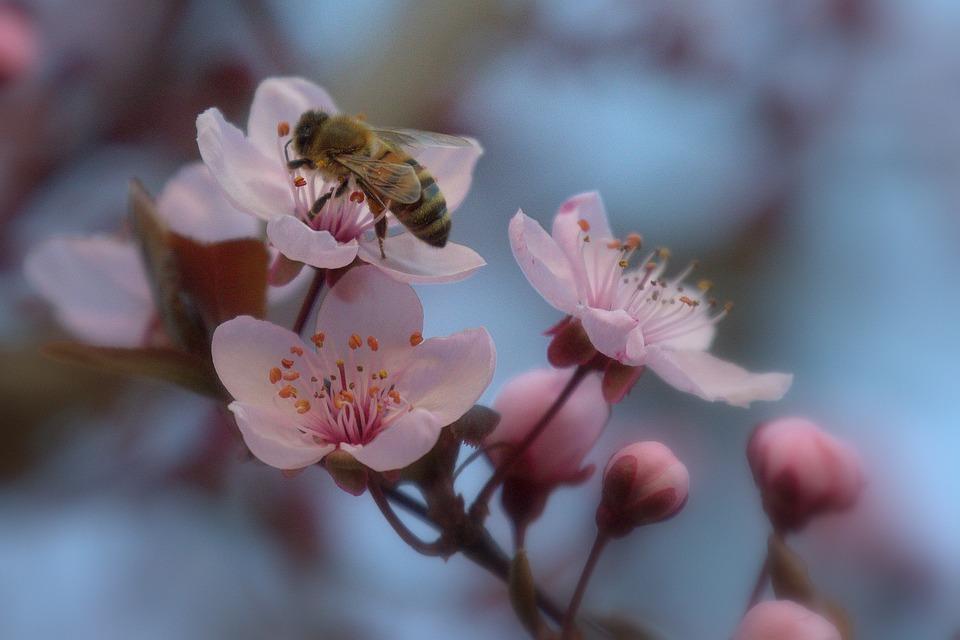 Bee, Blossom, Bloom, Cherry, Cherry Tree, Japan