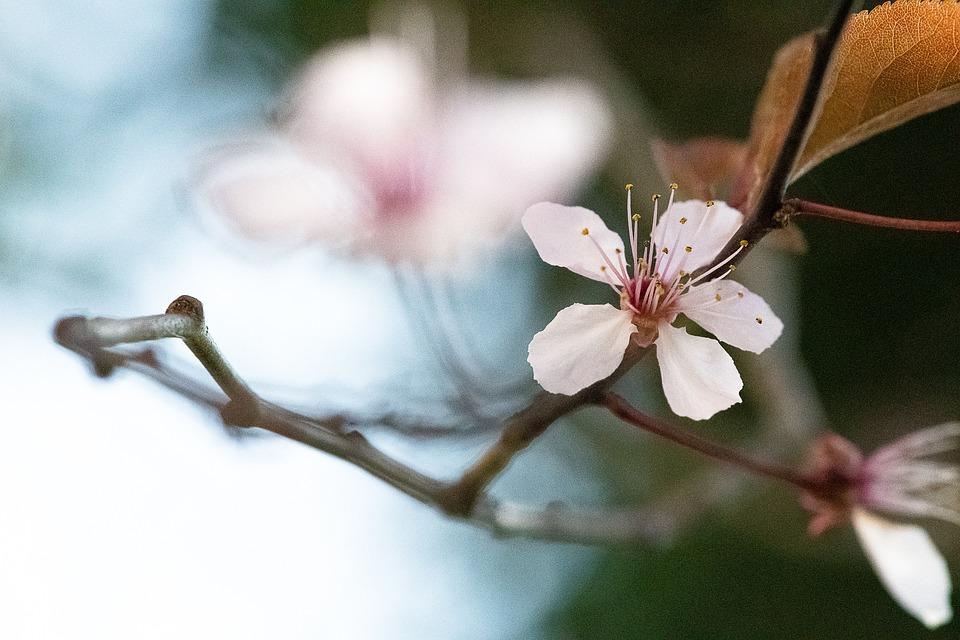Cherry Blossom, Blossom, Bloom, Tender, Spring, Pink