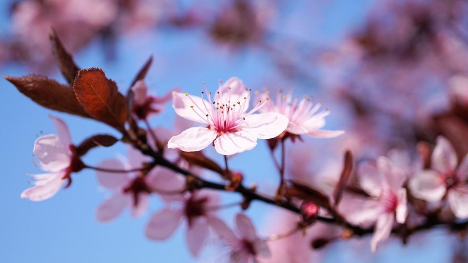 Cherry Blossom, Cherry Flower, Cherry, Flower