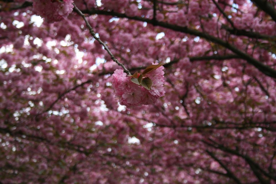 Cherry, Ornamental Cherry, Cherry Blossom