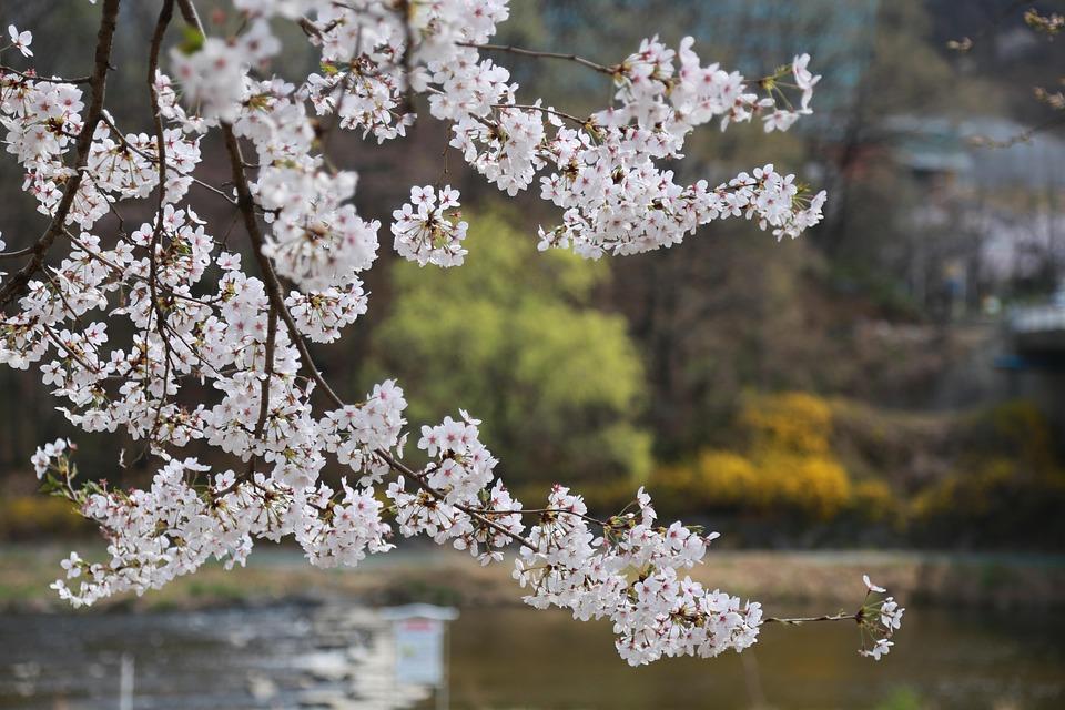 Flowers, Cherry Tree, Cherry Blossom, Cherry Flowers