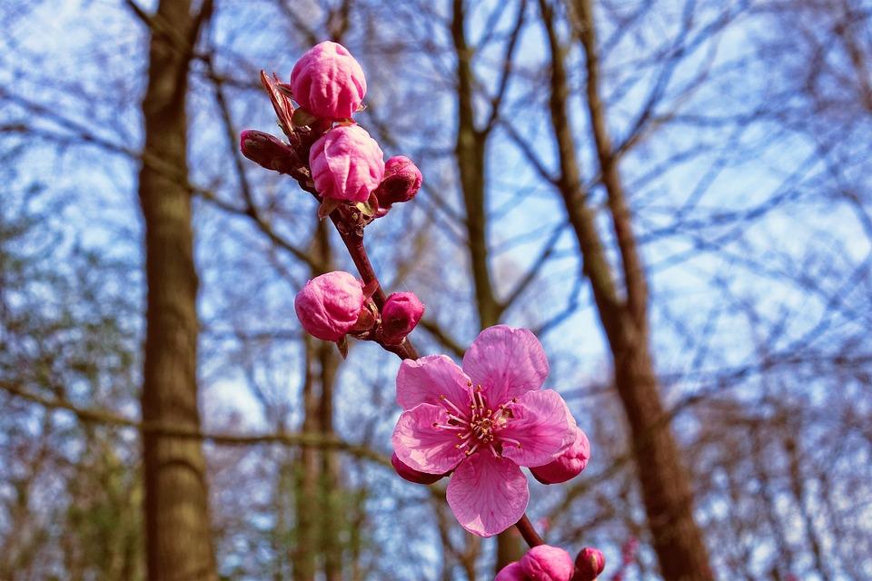 Pink Cherry Blossom, Cherry Blossom, Cherry Tree, Japan