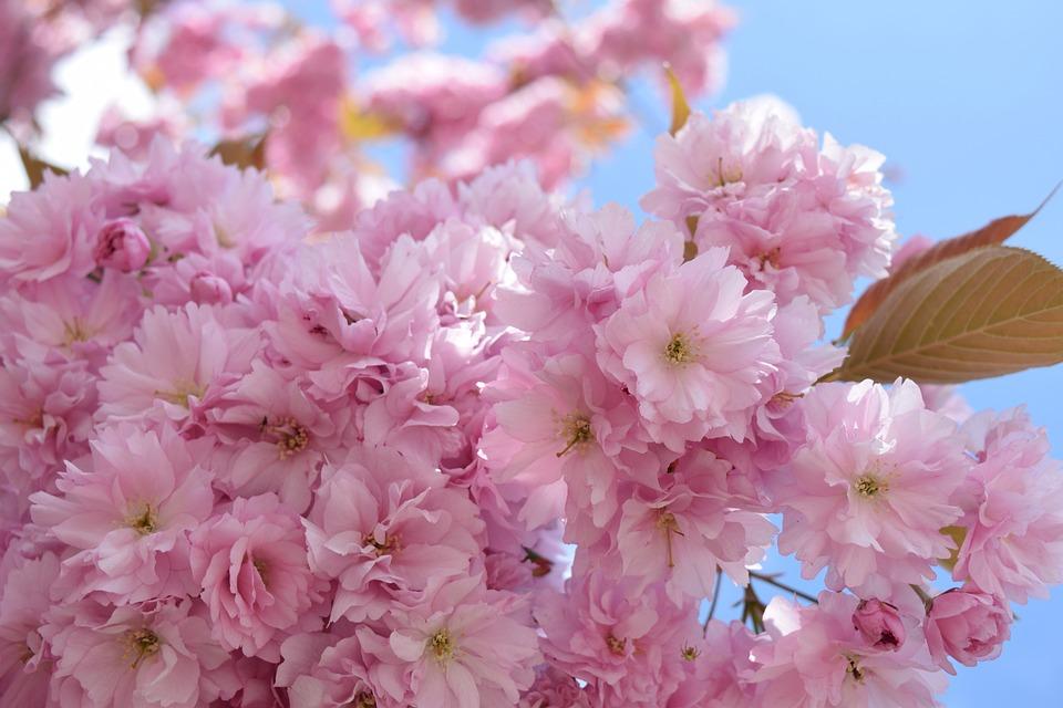 Cherry Blossom, Sky, Pink, Nature, Flowers, Cherry Tree