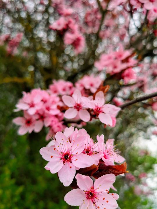 Cherry Blossom, Cherry, Nature, Blossom, Flowers, Pink