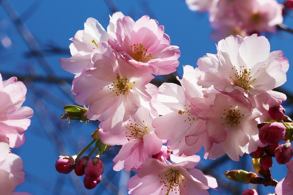 Cherry, Prunus, Cherry Blossom, Flowers, Rosaceae