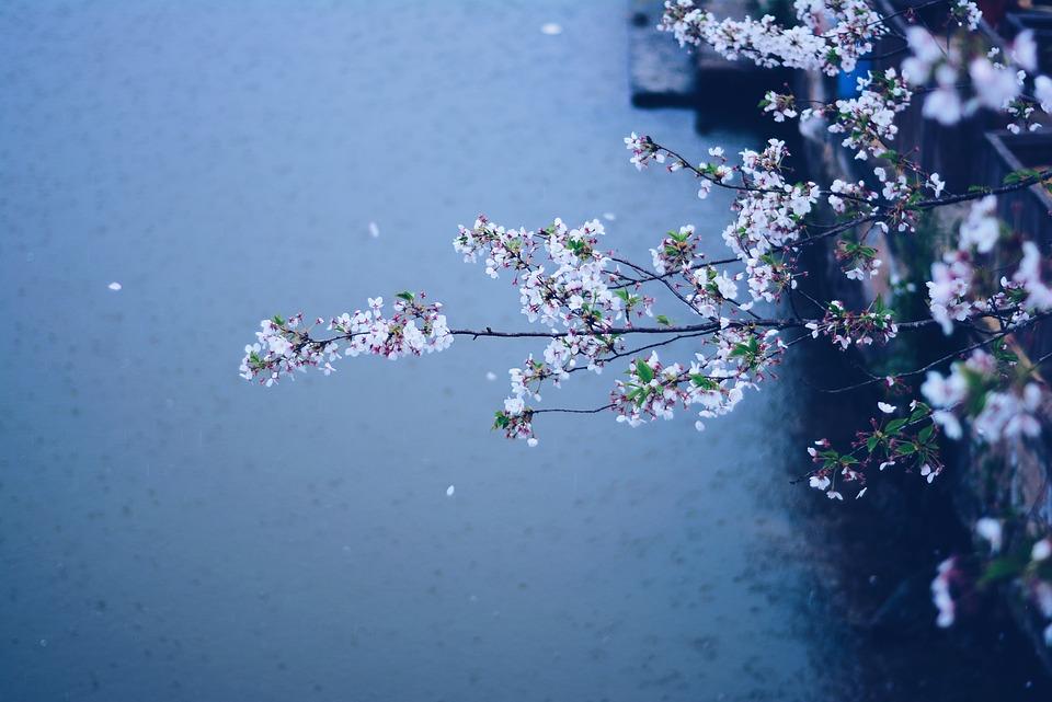 Spring, Rain, Flowers, Cherry Blossom