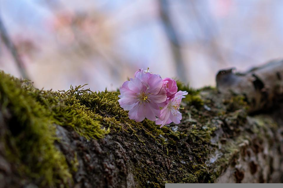Cherry Blossom, Flowers, Tree, Bark, Moss, Pink Flowers