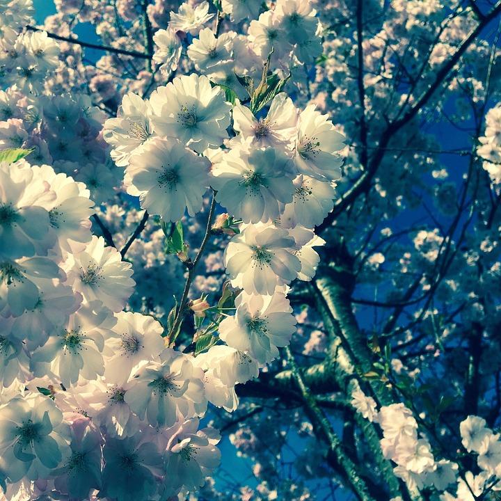 Summer, Flowers, Cherry Blossom, Pink, Nature