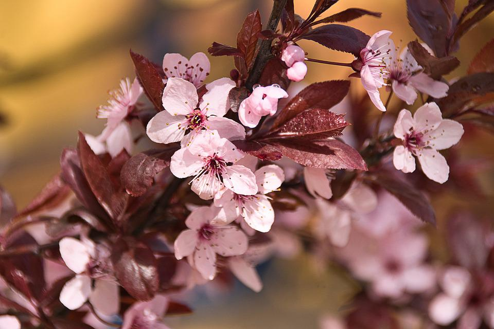 Cherry Blossom, Flowers, Spring, Leaves, Pink Flowers