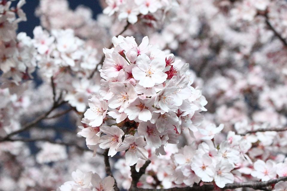 Sakura, Cherry Blossom, Cherry Tree, Flowers, Wood