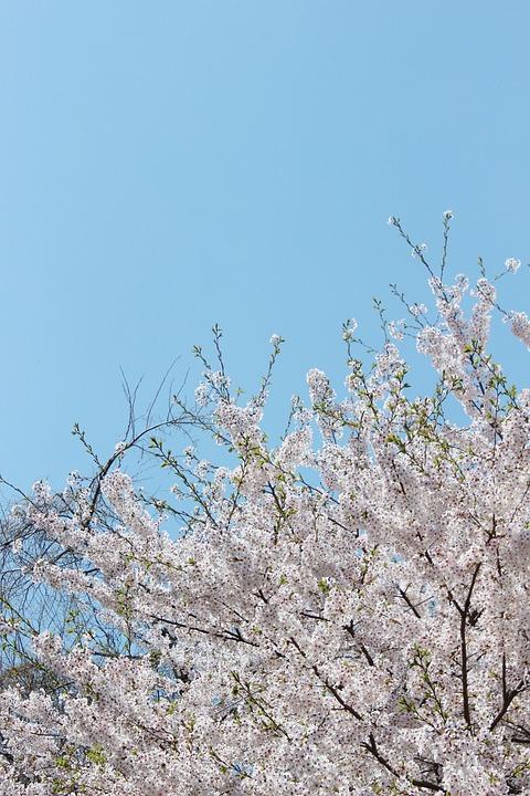 Cherry Blossom, Flowers, Sky