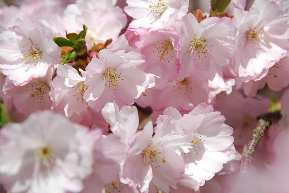 Cherry Blossom, Spring, Flowering Trees