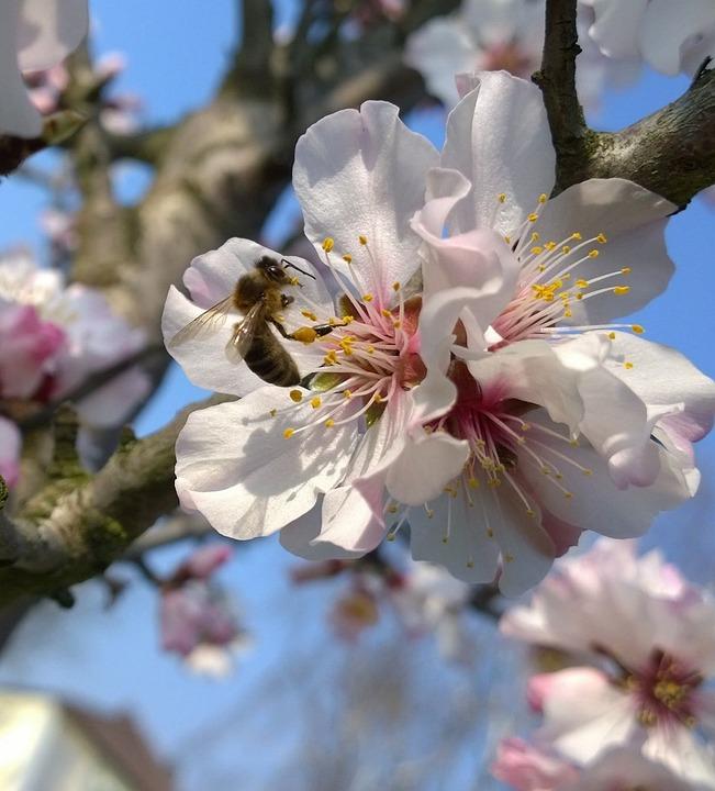 Cherry Blossom, Bee, Flowers, Spring