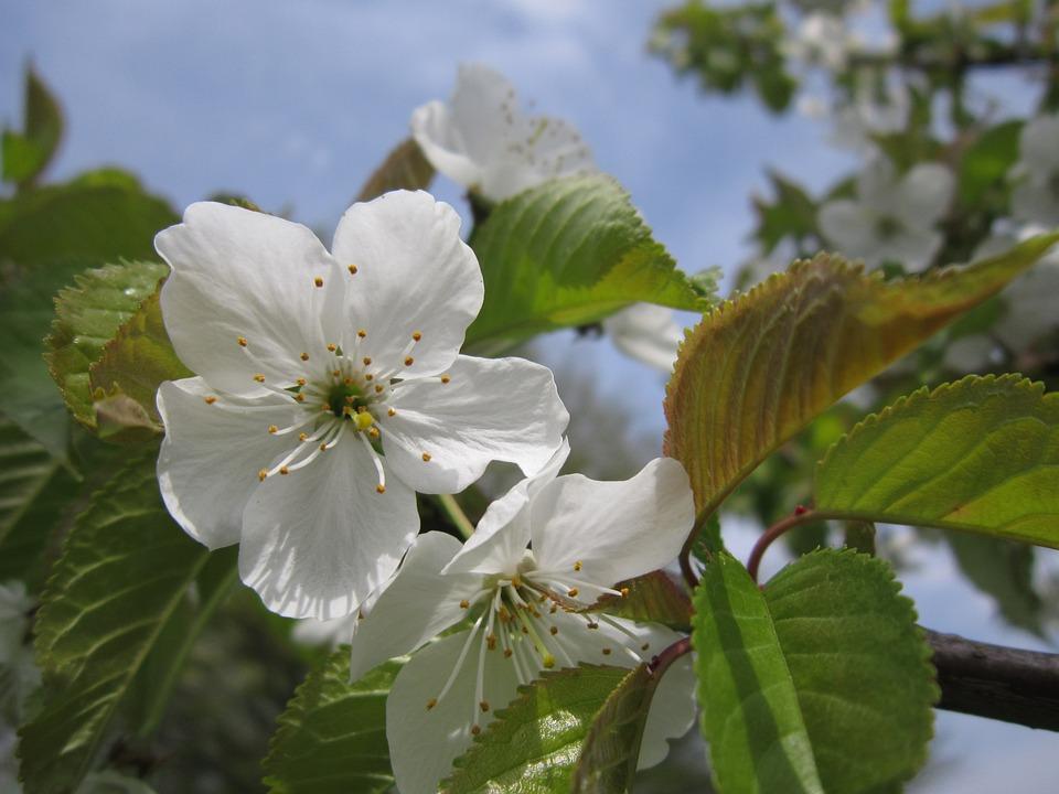 Cherry Blossom, Close, Spring, Flowers, Cherry, Tree