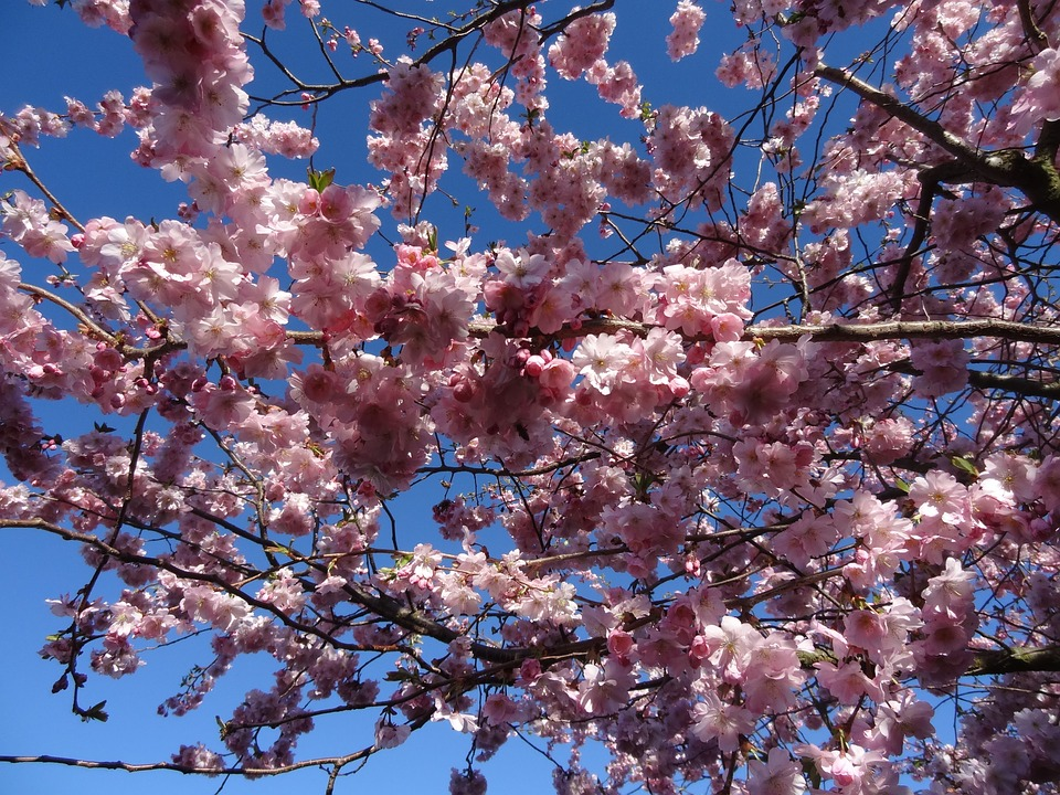 Spring, Pink, Cherry Blossom, Japanese Flowering Cherry