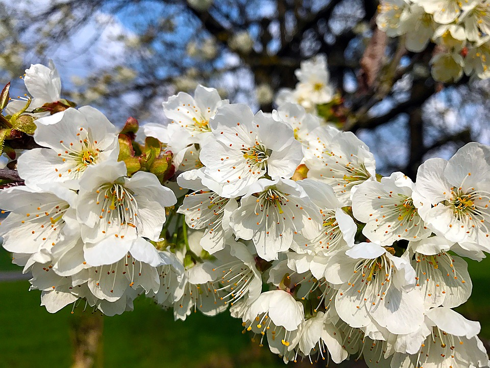 Cherry Blossom Spring, Nature, Cherry, Blossom, Bloom