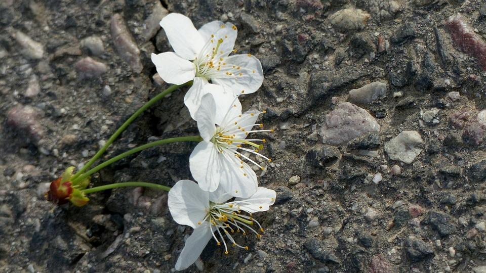 Cherry Blossom, White, Trio, Spring, Sweet Cherry